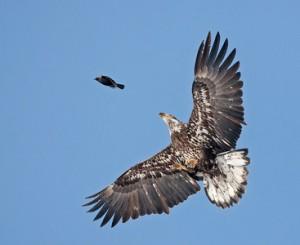 eagle-prey